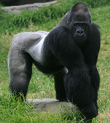 220px-Male_gorilla_in_SF_zoo